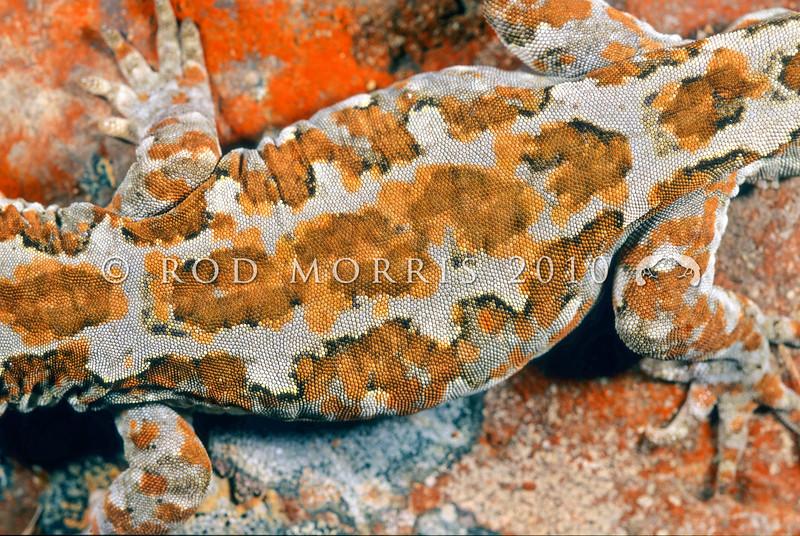 11003-25019  Takitimu gecko (Mokopirirakau cryptozoicus) detail of pattern on back *