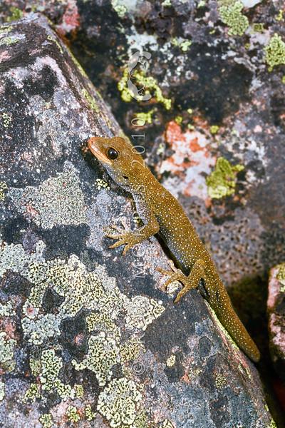 DSC_2020 Hura te ao gecko (Mokopirirakau sp.) young female on rock bluff. Oteake Conservation Park, North Otago *