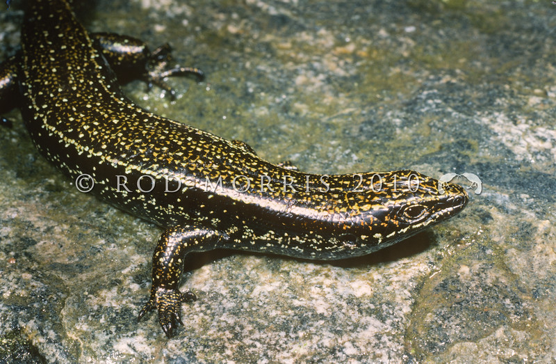11003-56006 Fiordland skink (Oligosoma acrinasum) occurs on south-western coast of Fiordland, where they inhabit rock crevices on exposed boulder beaches and islands. Storm driven waves may flood these habitats, forcing skinks deep into rock crevices or out to sea, to be washed ashore further along the coast. Often basks communally, in tangled piles of individuals. Breaksea Island, Fiordland *