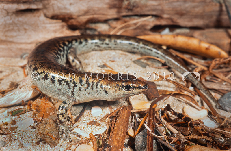 11003-55003 Egg-laying skink (Oligosoma suteri) female on sand and shingle beach.*