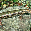 11003-67102  Northern Spotted skink (Oligosoma kokowai) often a beautiful green dorsally. This widespread species, is often coloured red, or pinkish on the belly, hence the Maori name kōkōwai, referring to the colour on the ventral surface. Now becoming rarer throughout its range. Cable Bay, Nelson *