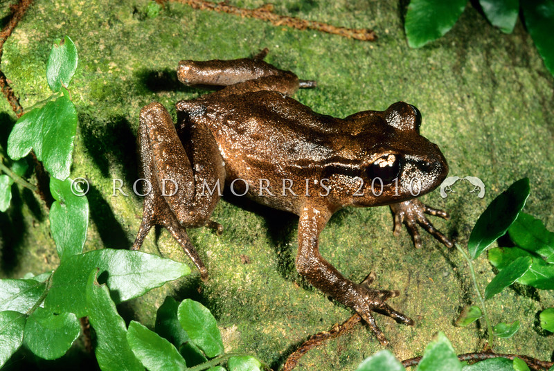11003-01005 Hamilton's frog (Leiopelma hamiltoni) male in forest. Maud Island *