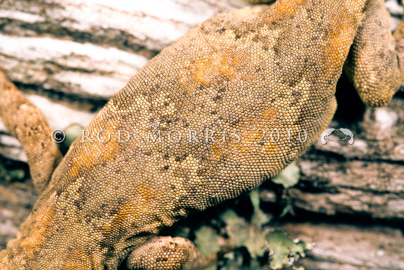 11003-17016 Forest gecko (Mokopirirakau granulatus) detail of pattern on large female on bark. Auckland *