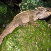 11003-96009 Tuatara (Sphenodon punctatus) this is one of the largest tuatara ever recorded, it is a male living in pohutukawa forest on Aorangi Island and measuring nearly 70 cm from nose-to-tail. Aorangi Island, Poor Knights Group *