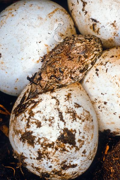 11003-97309 Tuatara (Sphenodon punctatus) hatchling emerging from egg. Stephens Island *
