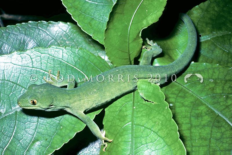11003-10005 Marlborough green gecko (Naultinus manukanus) male in mahoe. Stephens Island, Marlborough Sounds *