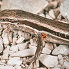 11003-62004 White-bellied skink (Oligosoma hoparatea) a medium sized, agile and highly vigilant skink living on alpine screes at around 1000m asl in the Ashburton Basin. Discovered in 2004 by herpetologist Tony Whitaker, they are are closely related to the Chatham Island skink Oligosoma nigriplantare. Rangitata Gorge *