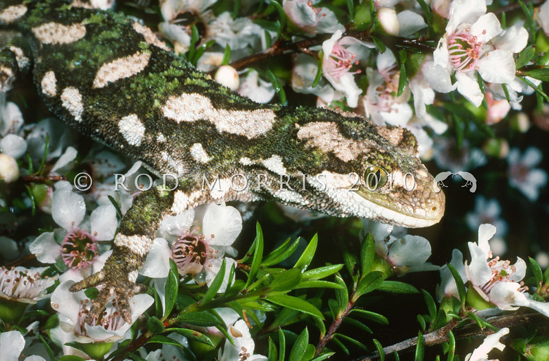 11003-13003 Rough gecko (Naultinus rudis) camouflaged male in flowering manuka *