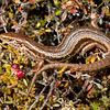 DSC_3203 Burgan skink (Oligosoma burganae) adult in mountain heath. Alpine herb fields are this skink's preferred microhabitat. It is restricted to the Lammermoor and Rock and Pillar Ranges above 900m. It is now sadly, absent from many of the places it was found when it was first discovered in the 1980's. Now, only two tiny sub populations remain. This  high-altitude skink has behavioural adaptations for surviving the cold, which include using the burrows of ground weta and giant worms, to escape the freezing temperatures that might otherwise threaten their survival over winter. It is possible that introduced mice have impacted populations of weta and skink, and the loss of habitat from grazing, and from subsequent weed encroachment will also be a factor. Burgan Stream, Rock and Pillar Range *