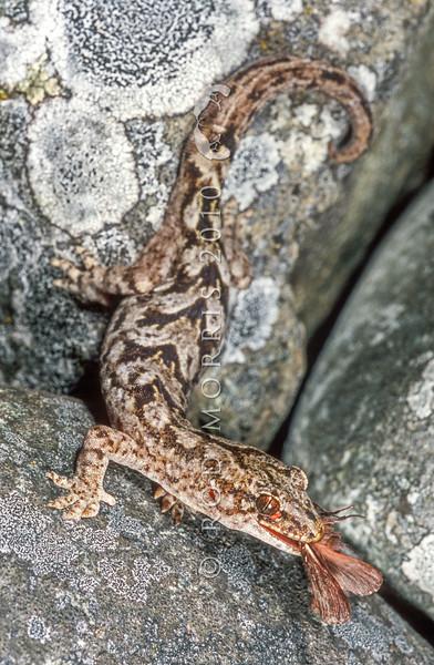 11003-40017 Raukawa gecko (Woodworthia maculata) adult male with captured moth. Common around Cook Strait *