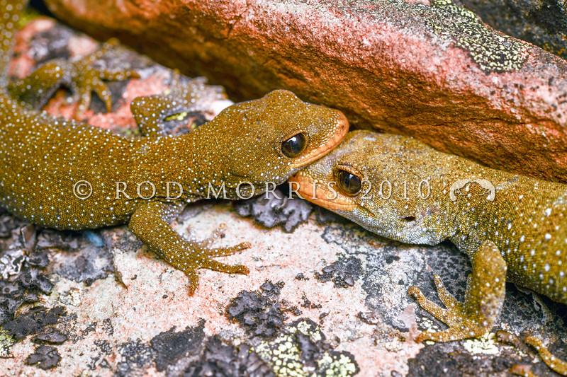 DSC_1002 Hura te ao gecko (Mokopirirakau sp.) pair. Female on left, male on right, on ledge on rock bluff. Oteake Conservation Park, North Otago *
