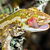 DSC_4078 Jewelled gecko (Naultinus gemmeus) an unusually pale patterned male from Canterbury, licking its eye *