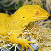 11003-08108 Elegant gecko (Naultinus elegans) a rare, yellow (xanthic) variant female. Yellow variants while uncommon, do occur naturally in wild populations, as a result of natural genetic mutations inhibiting pigment expression. In captive populations however, uncommon colours are often selected for by some breeders. Auckland *