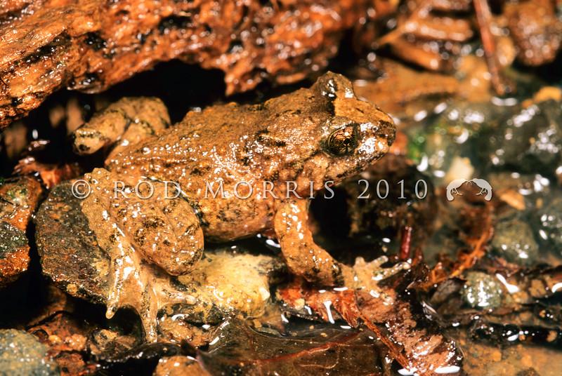 11003-02018 Hochstetter's frog (Leiopelma hochstetteri) 'Northland' adult male, Warkworth *