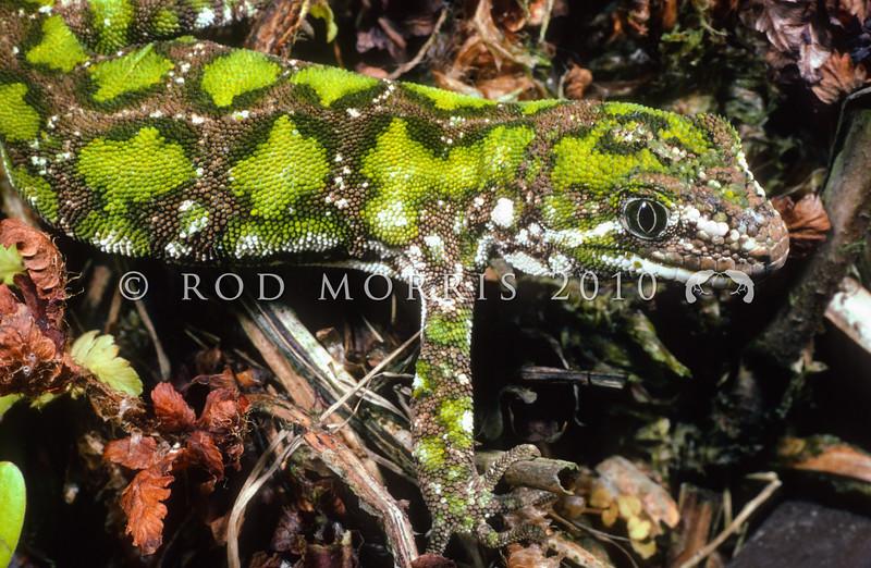 11003-11001 Starred gecko (Naultinus stellatus) male, Nelson Lakes form on Polystichum fern *