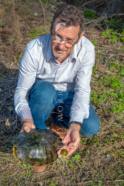 DSC_4439 Red-eared slider (Trachemys scripta elegans) is quickly becoming an invasive species in many parts of the world. Feral populations of this introduced pet now breed in several wild places in northern NZ, causing concern here too. Here Dr Nicolas Ling of the University of Waikato, holds a large female captured from a wild population in the Bay of Plenty. The small juvenile in Nic's other hand, is what is typically sold in pet shops throughout NZ. Once these small pets grow too large for their owners some are illegally 'dumped' into our waterways, where they have now become yet another unwanted, introduced predator. Hamilton *