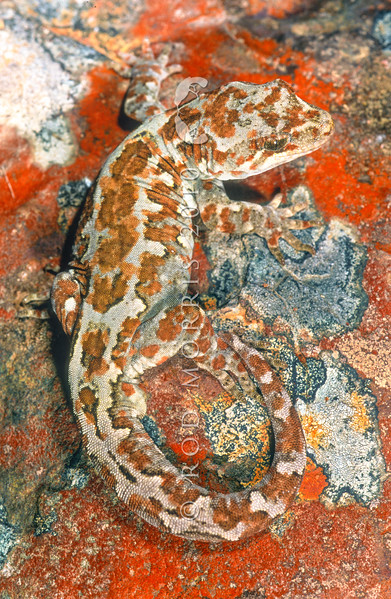 11003-25007 Takitimu gecko (Mokopirirakau cryptozoicus) male. An 'alpine gecko' discovered by Tony Jewell in 1999. Alpine geckos such as this share a close evolutionary relationship with forest geckos. Occasional individual geckos of this elusive species have turned up in forest at lower altitudes, indicating a much wider range than first thought *