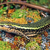 11003-57122  Sinbad skink (Oligosoma pikitanga) large female. This spectacular alpine endemic was discovered in Fiordland in 2004, by herpetologist Tony Jewell. Upper Sinbad Gully, Fiordland *