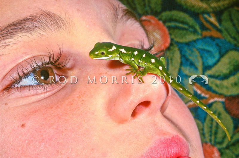 11003-14214 Jewelled gecko (Naultinus gemmeus) youngster perched on Rachel's nose *