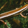 11003-68008 Striped skink (Oligosoma striatum) adult in rimu foliage. These arboreal skinks have been observed as high as 20m above the ground in forest podocarps, basking on branches, or hiding amongst epiphytes. Douglas *