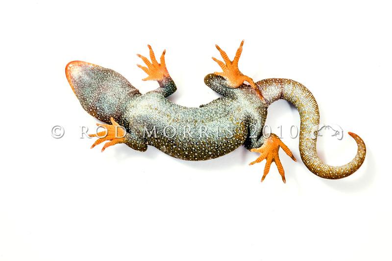 DSC_1169 Hura te ao gecko (Mokopirirakau sp.) underside of female. Oteake Conservation Park, North Otago *