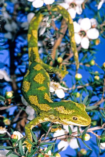 11003-14108 Jewelled gecko (Naultinus gemmeus) female, Canterbury form in flowering manuka.