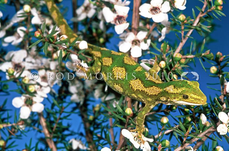 11003-14110 Jewelled gecko (Naultinus gemmeus) female, Canterbury form in flowering manuka *