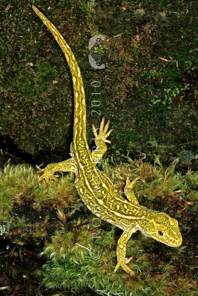 11003-12006  West Coast green gecko (Naultinus tuberculatus) adult male on moss *