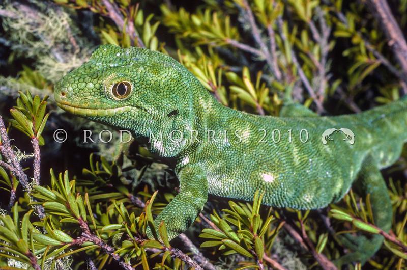 11003-11007 Starred gecko (Naultinus stellatus) male on kanuka. Farewell Spit *