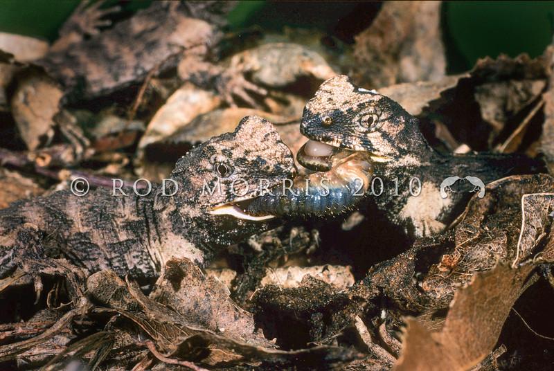 11003-97210 Tuatara (Sphenodon punctatus) hatchlings fighting over grub on the forest floor. Stephens Island *