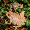 11003-05021  Whistling frog (Litoria ewingii) pair on moss with female in foreground. Introduced into the South Island of NZ from Tasmania in 1875. The only known southern hemisphere frog that can withstand being frozen solid. Okarito *