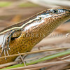 DSC_6999 Southern grass skink (Oligosoma aff. polychroma Clade 5)  detail of head of gravid female, dark striped morph in tussock, Otago Peninsula *