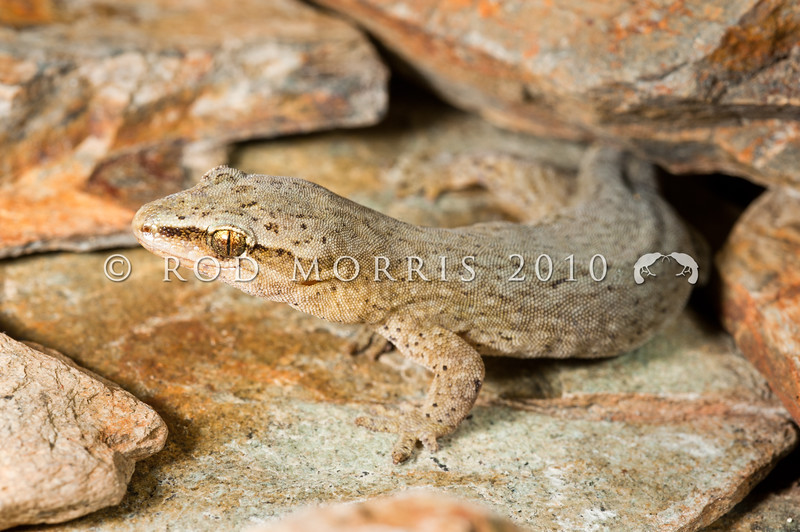 DSC_3567  Short-toed gecko (Woodworthia 'southern mini') female in rock crevice. Eyre Mountains *