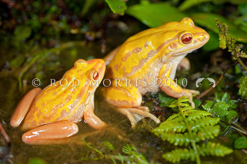 DSC_5684 Green and golden bell frog (Ranoidea aurea) these yellow individuals (male with large gravid female), exhibit the colour abnormality xanthochromism, sometimes known as xanthism. Golden bell frogs are distinguished by the presence of enlarged distal pads on the toes, which are absent in the Southern bell frog (Ranoidea raniformis). Te Kuiti *