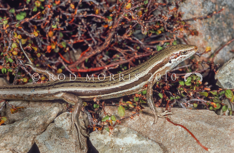 11003-62010 White-bellied skink (Oligosoma hoparatea) an active and agile inhabitant of screes and dry riverbeds in Canterbury. Rangitata Gorge *