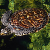 11003-99714  Hawksbill turtle (Eretmochelys imbricata) a sporadic and transitory vagrant, with less than 15 individuals visiting northern New Zealand waters a year. Common near land, and over tropical reefs throughout the Pacific *