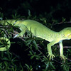 11003-08009 Elegant gecko (Naultinus elegans) plain green female in kanuka *