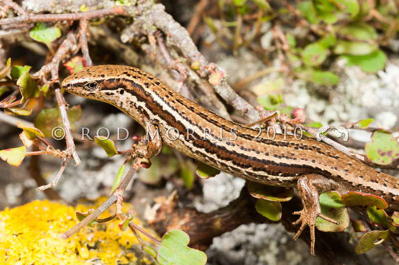 DSC_3652  Cryptic skink (Oligosoma inconspicuum) named for its  morphological similarity to several closely-related species, as well as its cryptic behaviour. Adult in muehlenbekia. Cape Saunders, Otago Peninsula *