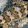 11003-48017  Korero gecko (Woodworthia 'central otago - western form') detail of pattern on back