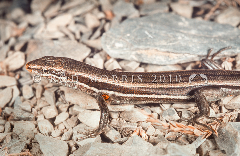 11003-62019 White-bellied skink (Oligosoma hoparatea) an active and agile inhabitant of screes and dry riverbeds in Canterbury. Rangitata Gorge *