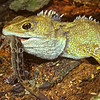 11003-97307  Tuatara (Sphenodon punctatus) with captured Raukawa gecko (Woodworthia maculata) Stephens Island