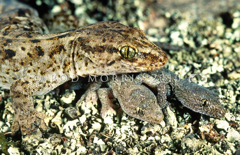 11003-49001  Korero gecko (Woodworthia 'Otago large' - Danseys Pass form) adult female with twins on lichen. Danseys Pass *