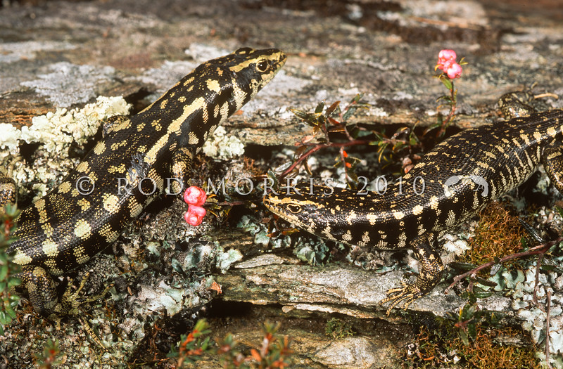 11003-61003  Otago skink (Oligosoma otagense) the largest lizard species remaining on mainland New Zealand. Now confined to mid-altitude tussock and shrubland in the eastern South Island, where they are diurnal, obligate sun-baskers. Emerald Stream, Macraes Flat *