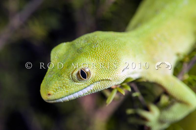 DSC_5566 Elegant gecko (Naultinus elegans) pale green female in kanuka. Auckland *