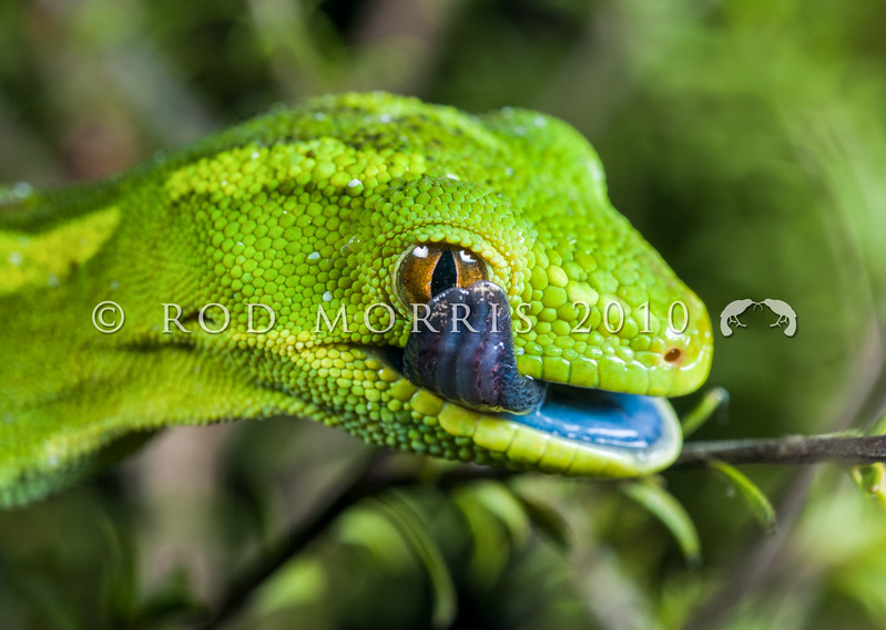 DSC_5584 Elegant gecko (Naultinus elegans) detail, head and tongue of female in kanuka. Auckland *