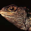 11003-97115  Tuatara (Sphenodon punctatus) portrait of head at sunset. Stephens Island *