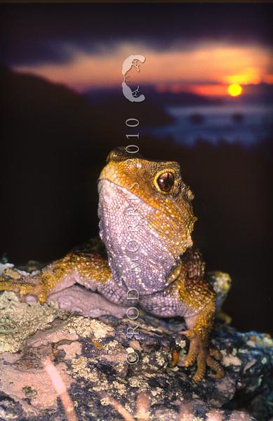 11003-97116  Tuatara (Sphenodon punctatus) portrait at sunset. Stephens Island *
