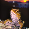 11003-97116  Tuatara (Sphenodon punctatus) portrait at sunset. Stephens Island *