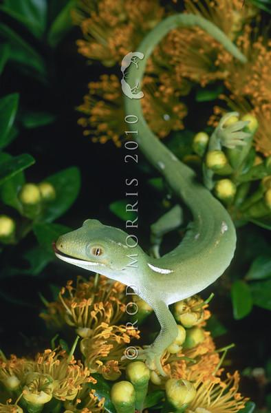 11003-08103 Elegant gecko (Naultinus elegans) pale green male in flowering climbing rata. Auckland *