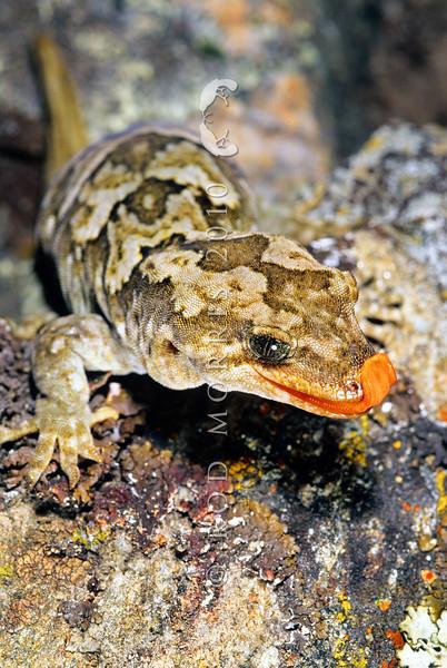11003-23113  Orange-spotted gecko (Mokopirirakau 'Roys Peak') large female. Moke Lake *